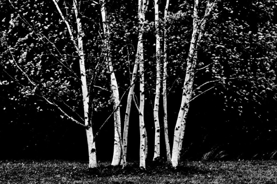 PF Birches