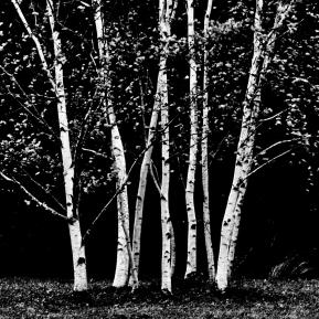 Birches G.Fraser Fine Art Photography 6x8 Matted 11x14 $55.00 11x14 Matted 16x20 $125.00